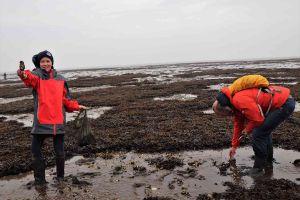 Rømø, Flautenbeschäftigung Austern sammeln