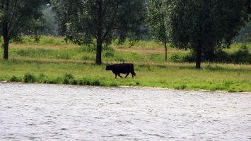 Rinder in Roermond, Ool, Oolderplas